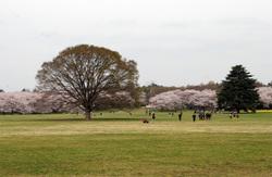 Sakura1004092